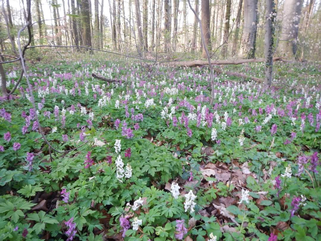 Biegwald-Blütenteppich