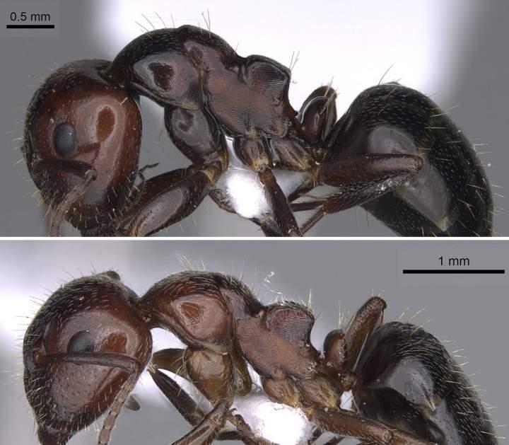 Camponotus lateralis dimorphism head