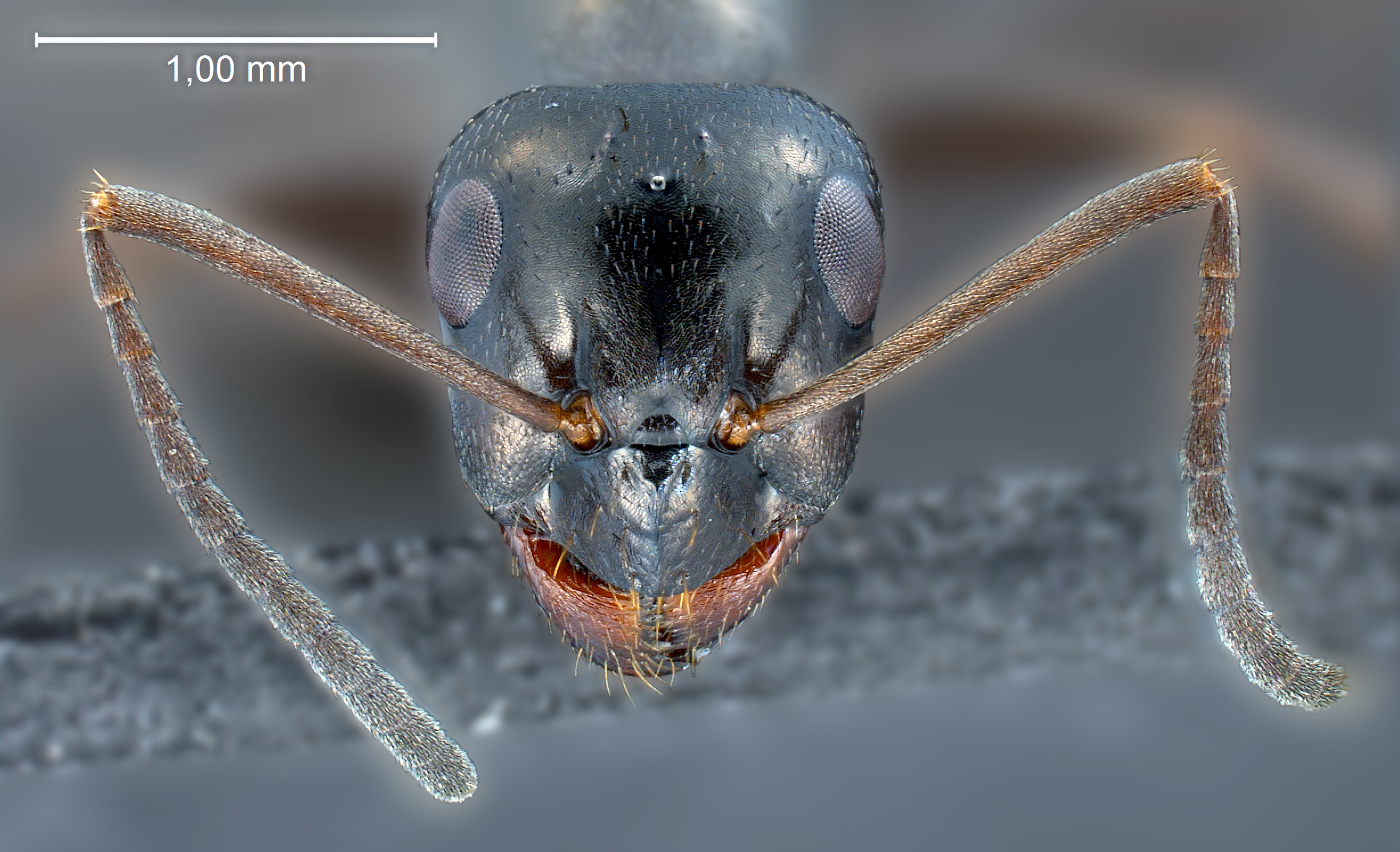 Formica candida worker