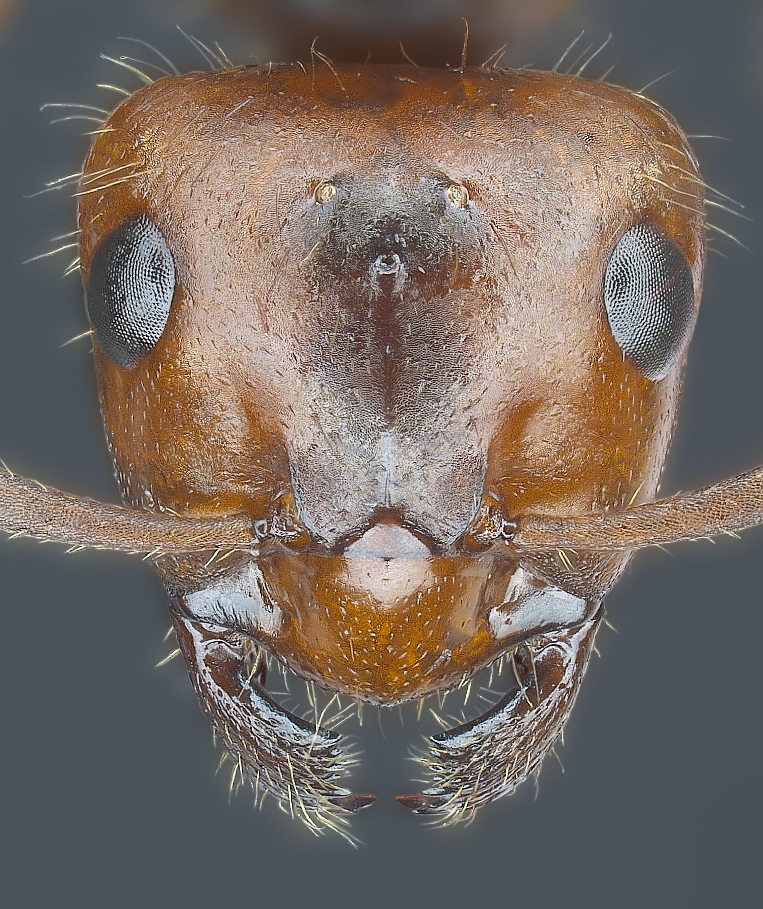 Formica truncorum gyne