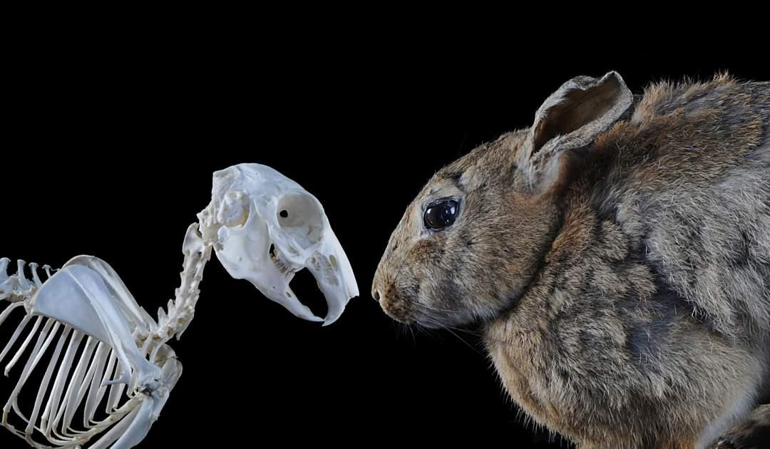 Kaninchen (Schädel & Präparat)