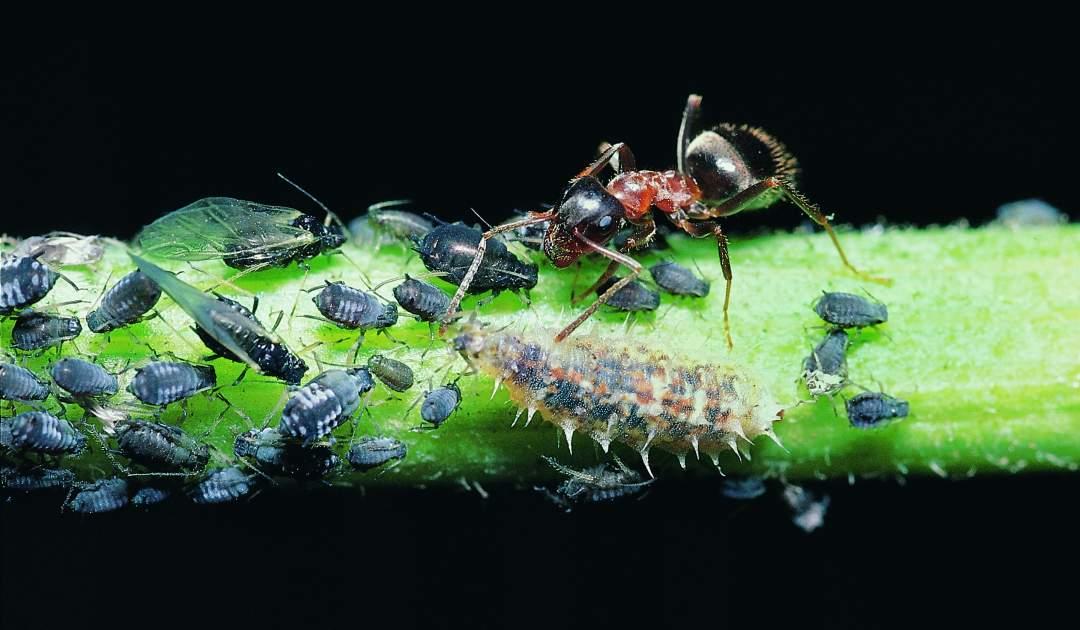 Lasius emarginatus with Aphids and Syrphidae