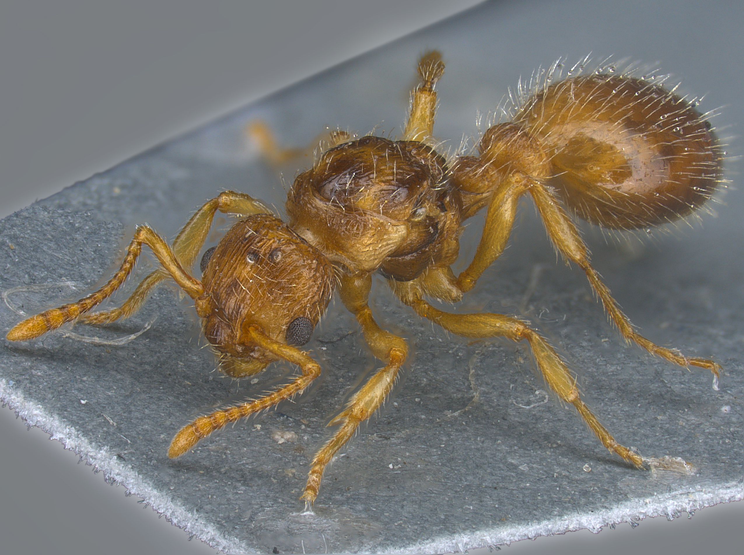 Myrmica hirsuta gyne