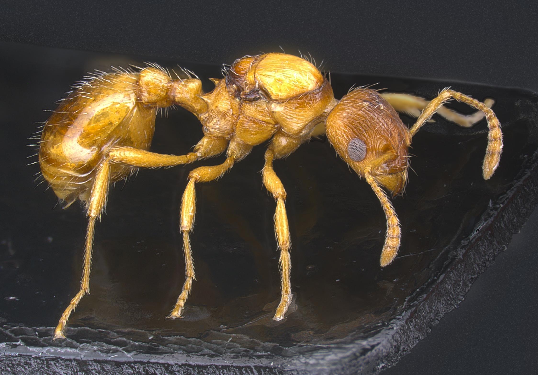 Myrmica microrubra
