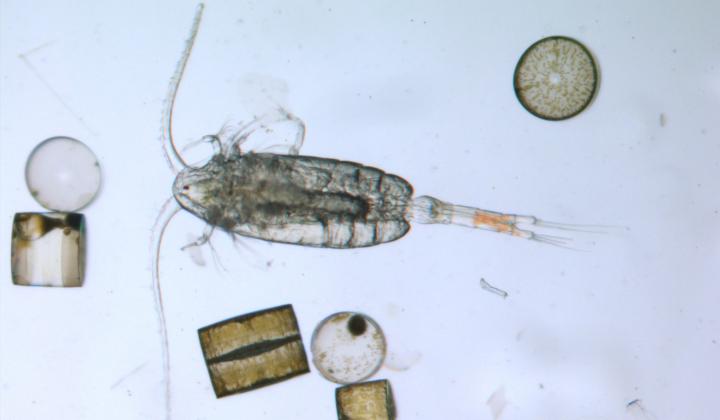Calanoider Copepode Pseudocalanus elongatus aus der Nordsee
