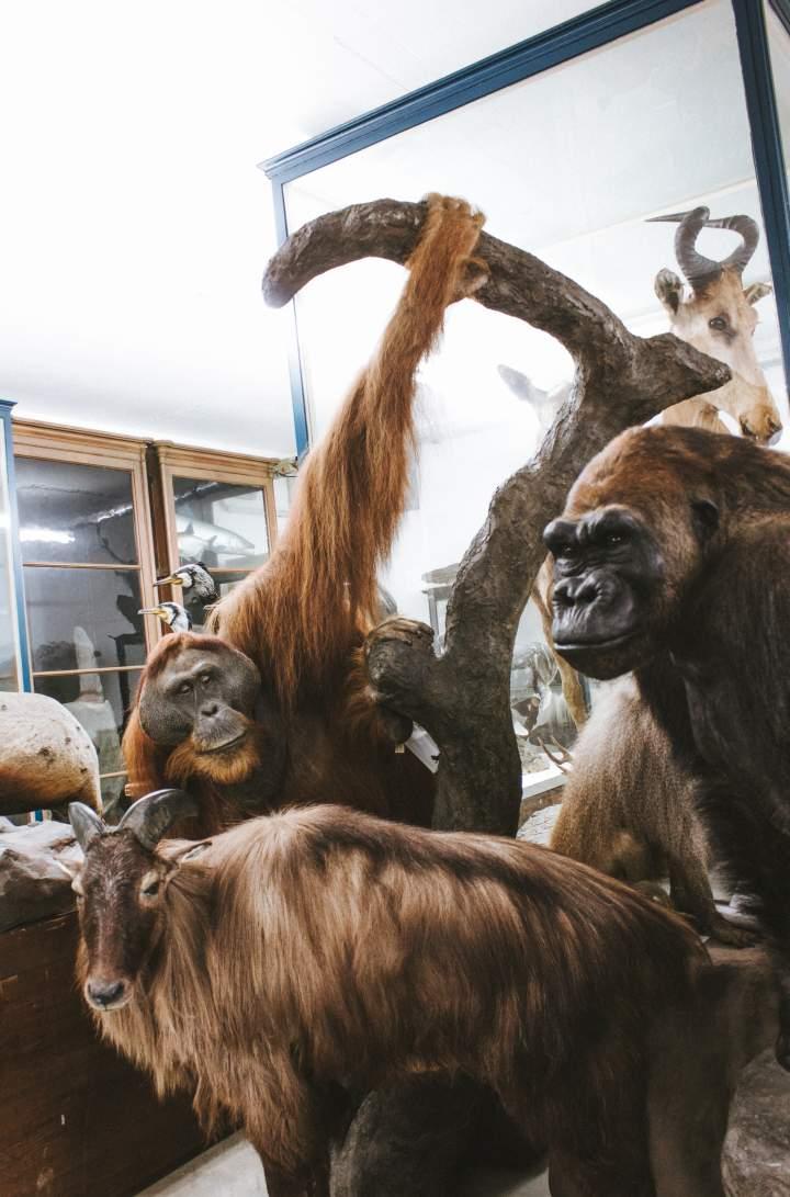 Affen in der Sammlung der Mammalogie Dresden