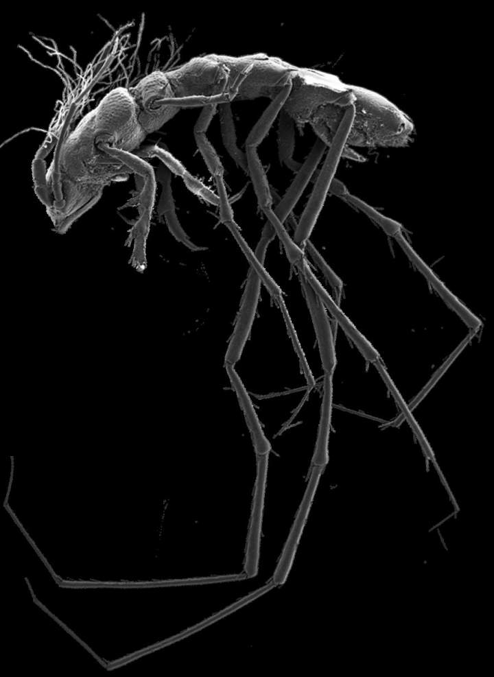 Macrostylidae