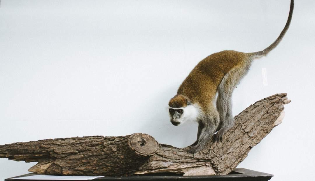 Monameerkatze (Cercopithecus mona)