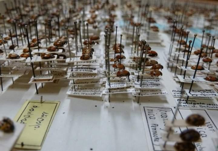 SDEI Kustodiat Coleoptera Sammlung detail eines Sammlungskasten.