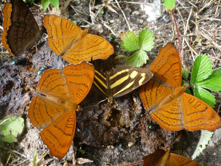 SDEI Kustodiat Lepidoptera, Schmetterlinge an Dunghaufen, 2009, China