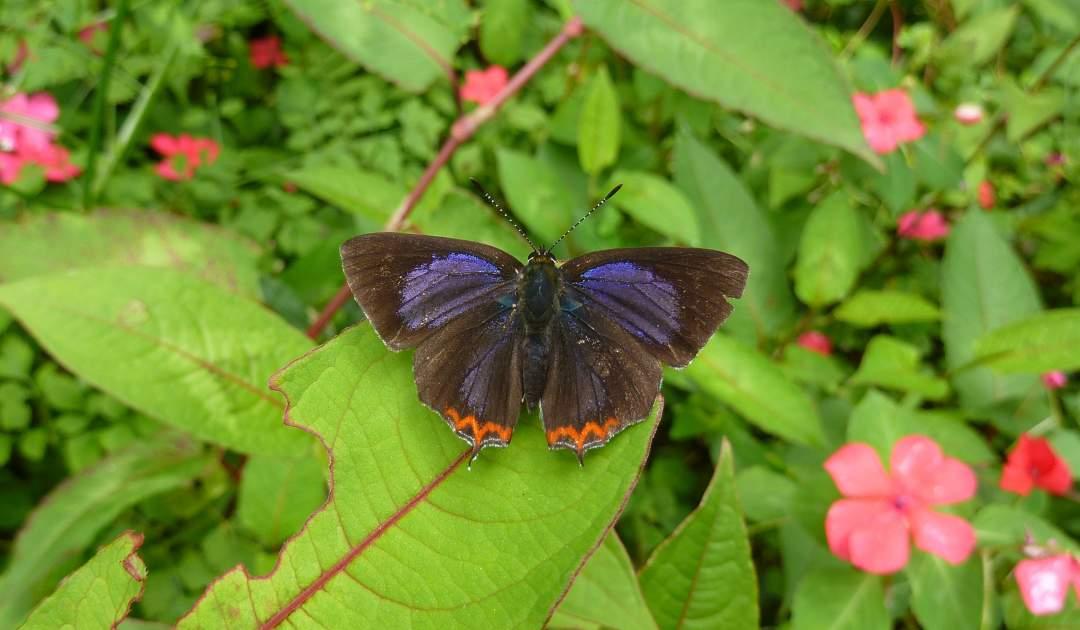 SDEI Kustodiat Lepidotptera: Schmetterling auf Blatt, Taiwan 2011.