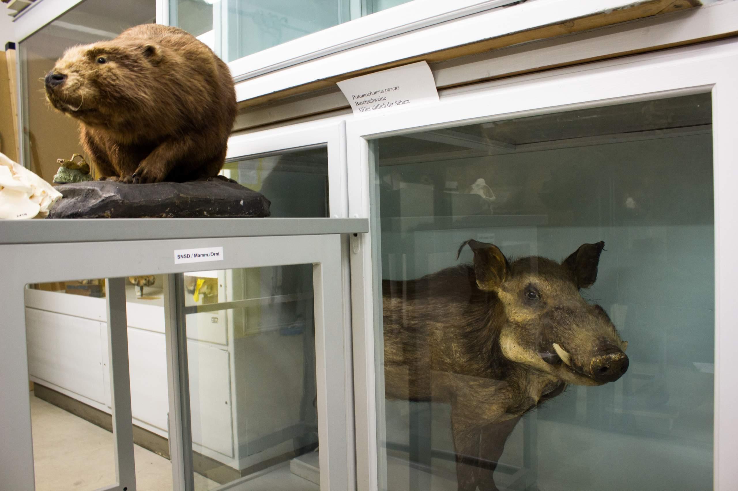 Wildschwein und Biber