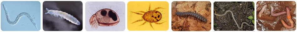 Bodenzoologie Edaphobase Banner