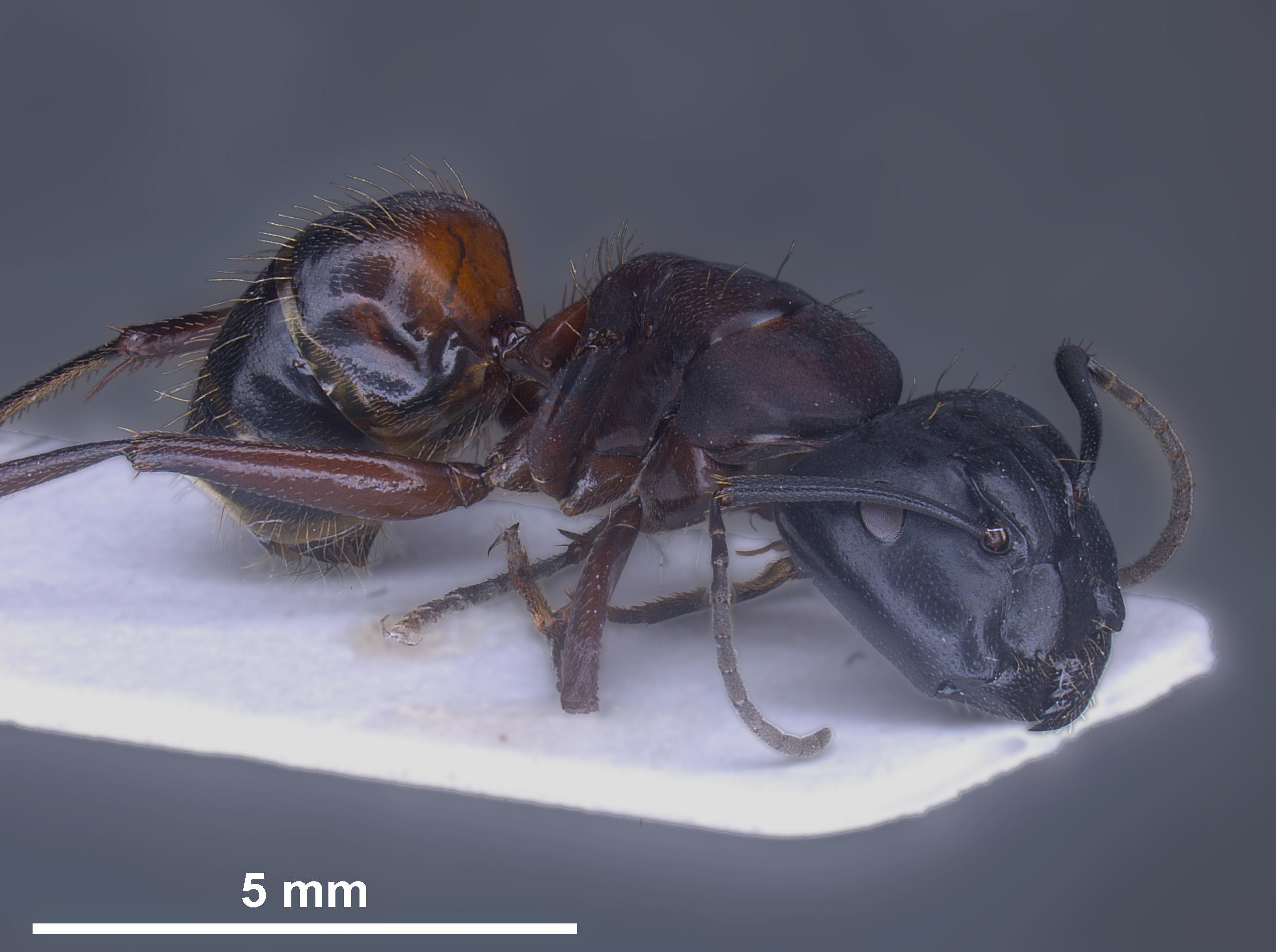 Hybrid worker Camponotus herculeanus × ligniperda