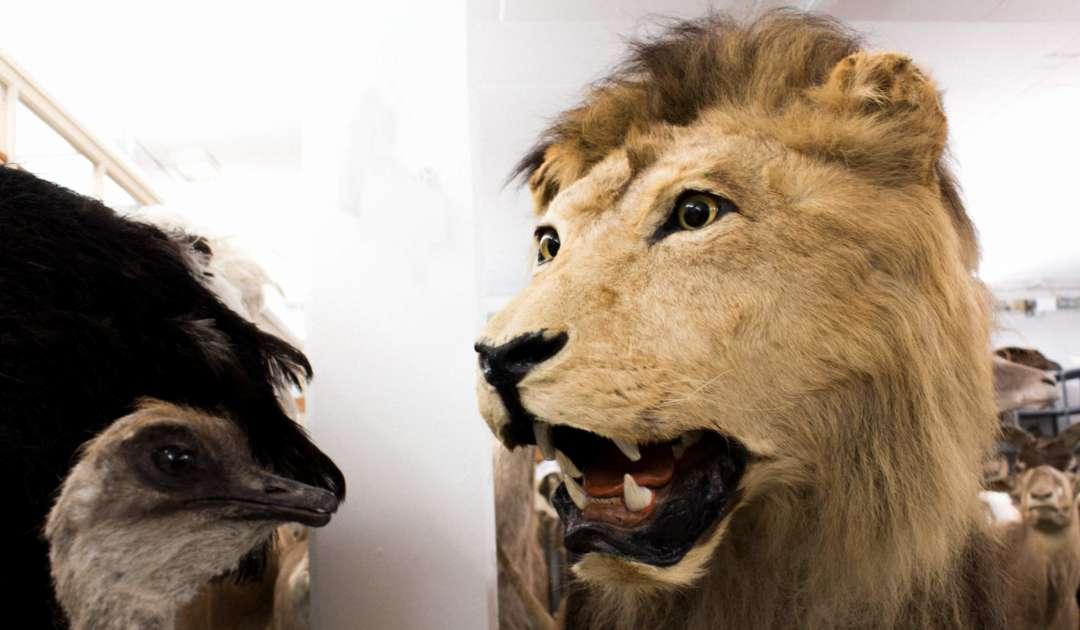 Löwe in der Sammlung der Mammalogie Dresden