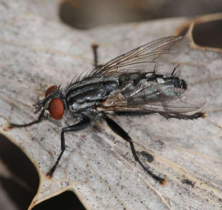 SDEI Sektion Diptera: Sammlung