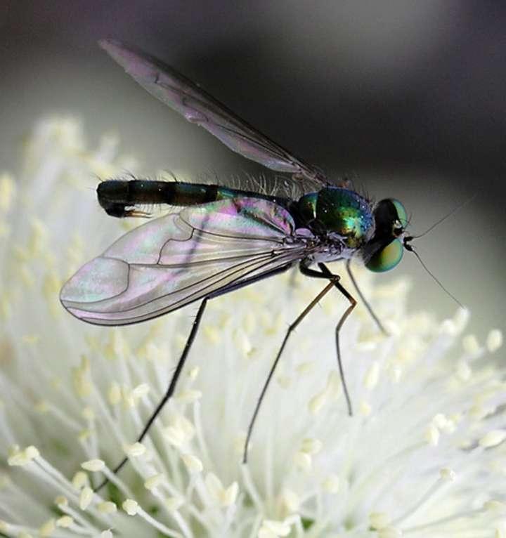 SDEI Sektion Diptera