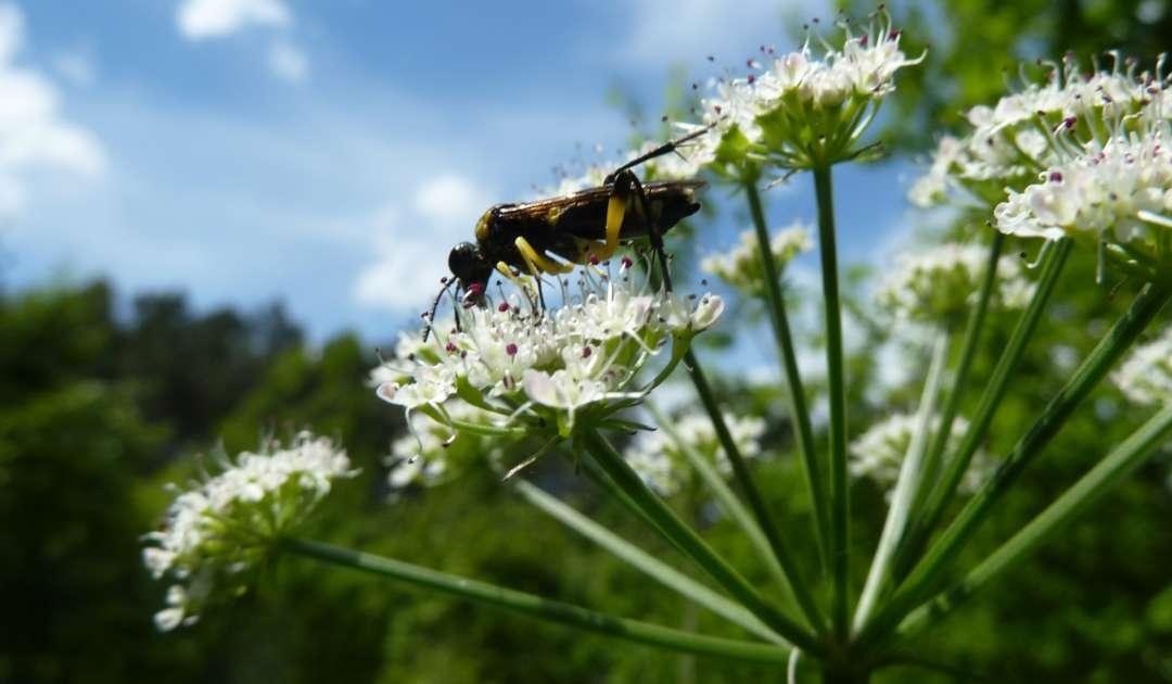 SDEI Kustodiat Hymenoptera Fortschung Blattwespe Portugal
