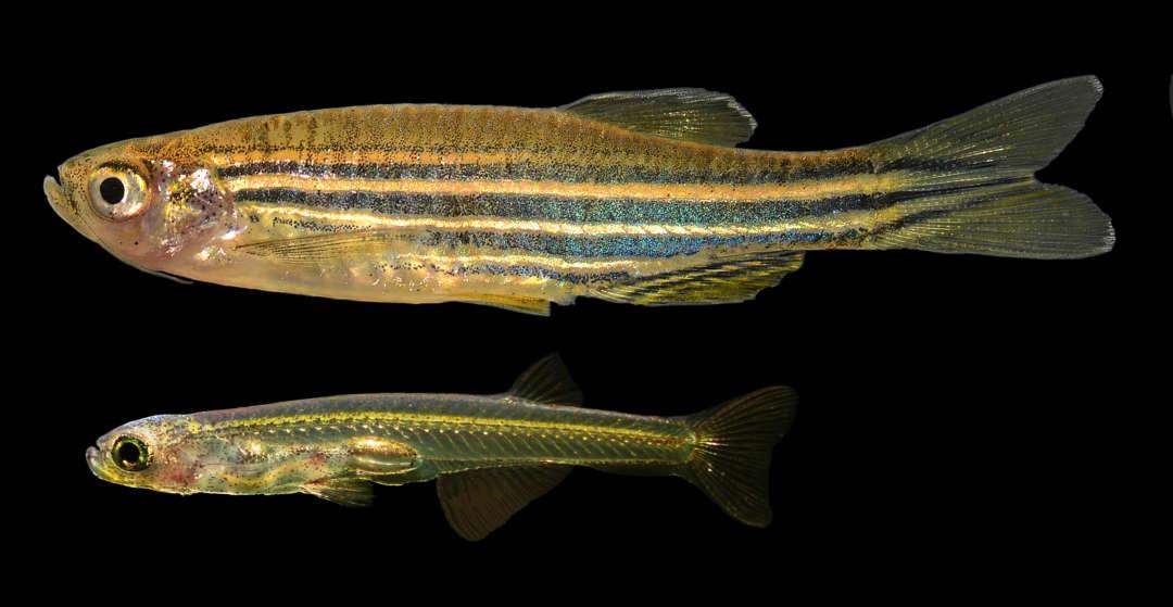 Zebrabärbling, Danio rerio (oben) und die extrem progenetische (entwicklungsverkürzte) Danionella dracula (unten, Foto Erwin Schraml) im Vergleich. Ichthyologie Dresden