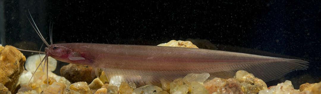 Der 2011 entdeckte unterirdisch lebende Wels Kryptoglanis shajii. Ichthyologie Dresden