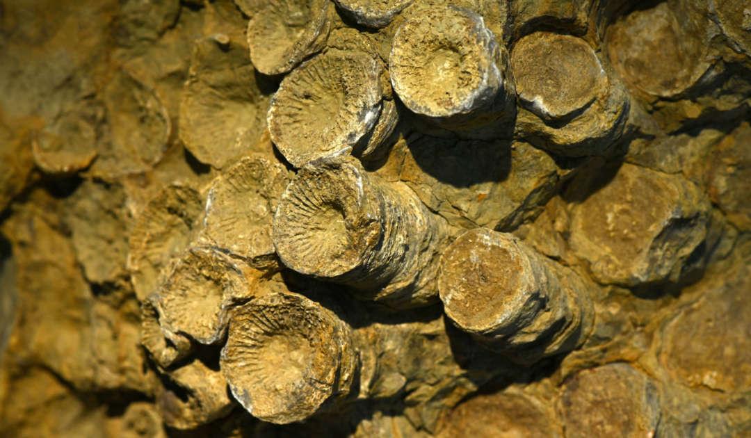 Koralle Paläozoologie II