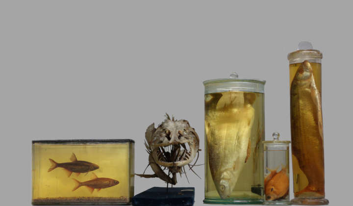 Ichthyology Collection Dresden