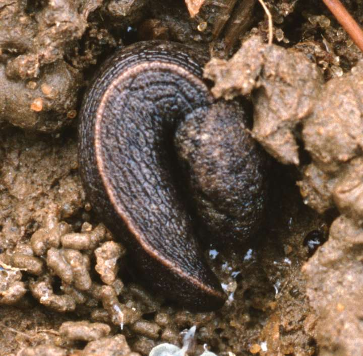 The slug Tandonia budapestensis