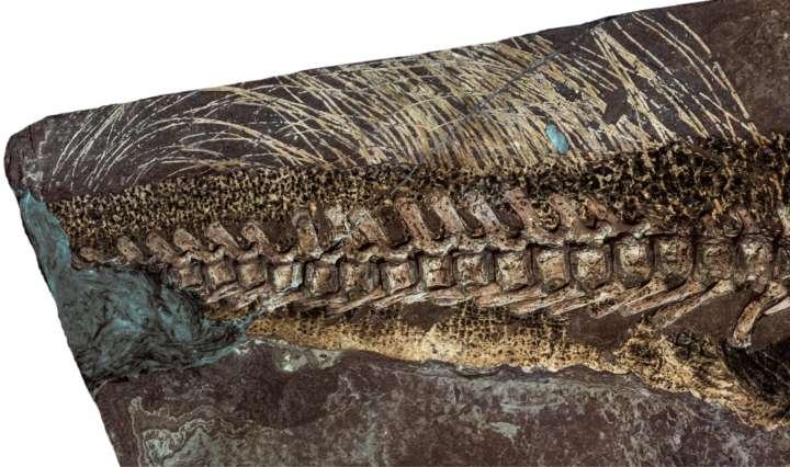 Dinosaurier Psittacosaurus Fossil