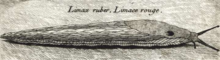 Original description of Arion ater ruber
