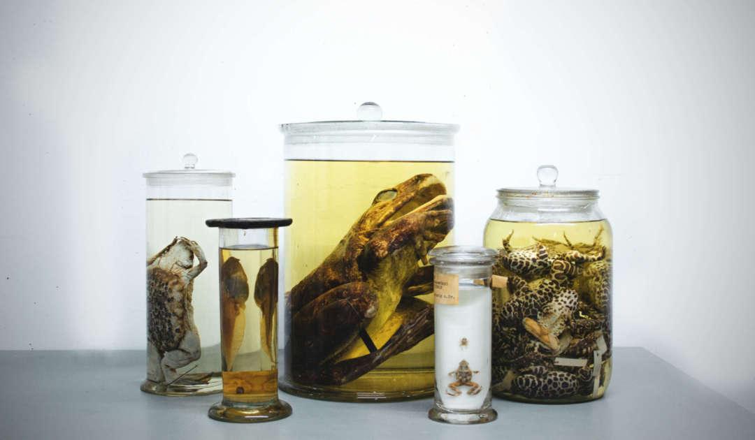 Herpetologie Dresden Präparate Reptilien und Amphibien