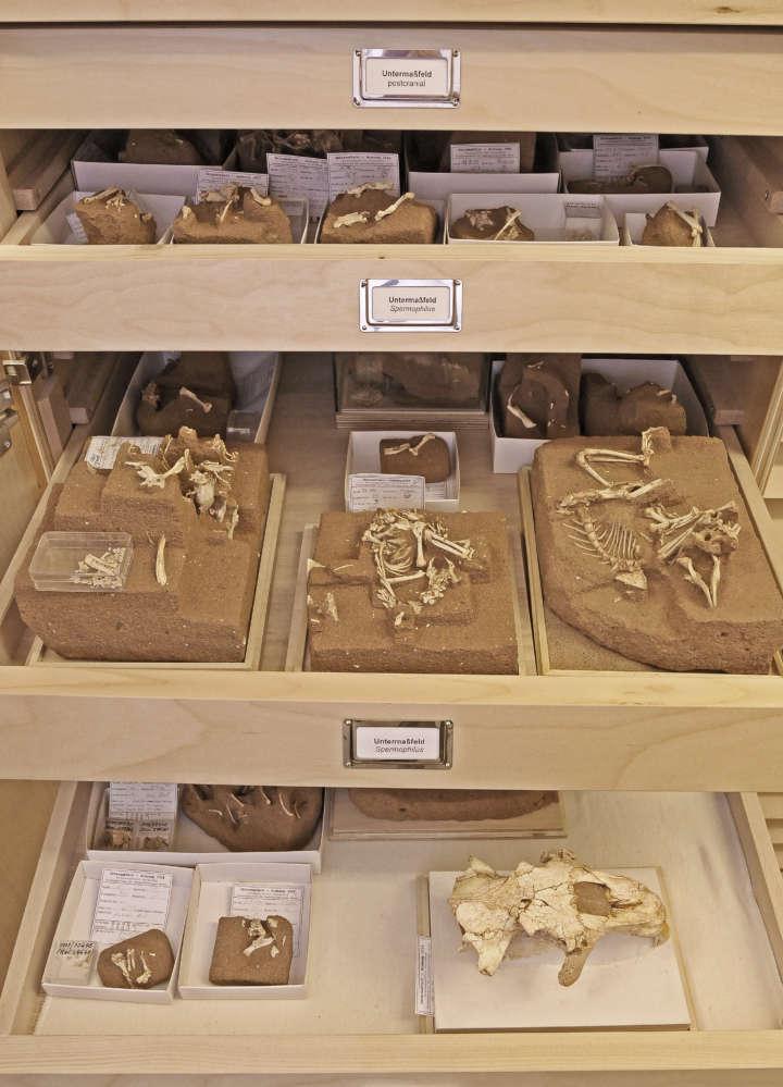Blick auf offenen Sammlungsschrank mit Kleinsäugerpräparaten der Abteilung Quartärpaläontologie Weimar