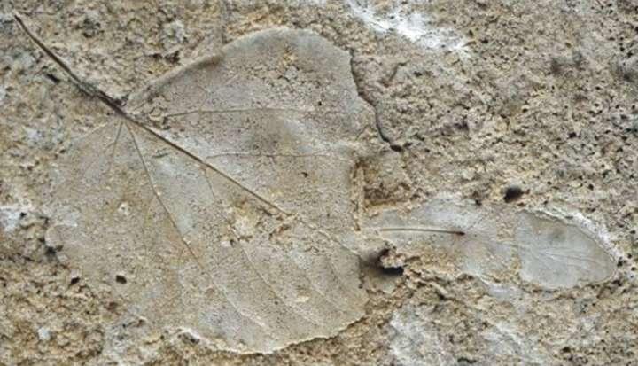 Abdruck eines fossilen Laubbaumblattes aus der Sammlung der Abteilung Quartärpaläontologie Weimar