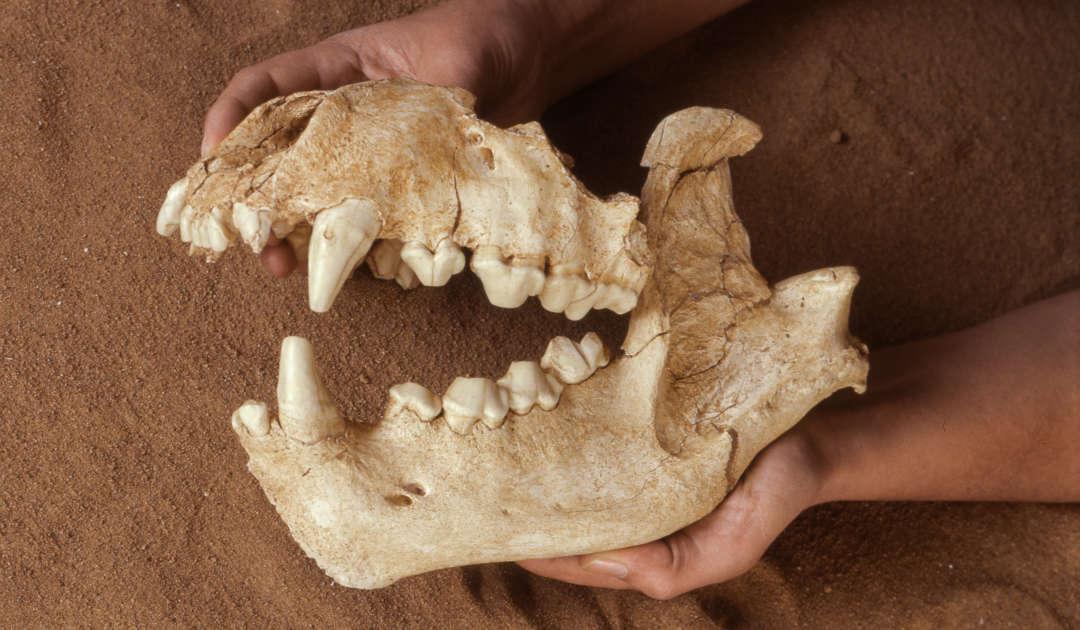 Pachycrocuta Ober- und Unterkiefer aus der Sammlung der Abteilung Quartärpaläontologie Weimar