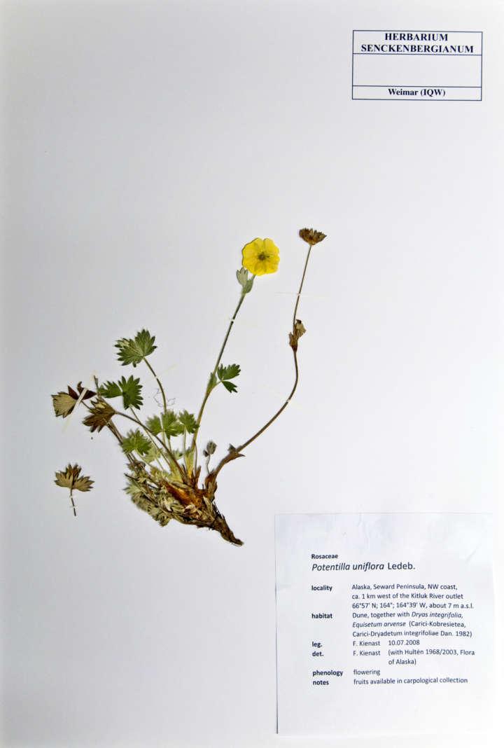 Quartäre Makrofloren Weimar Herbarblatt Potentilla uniflora
