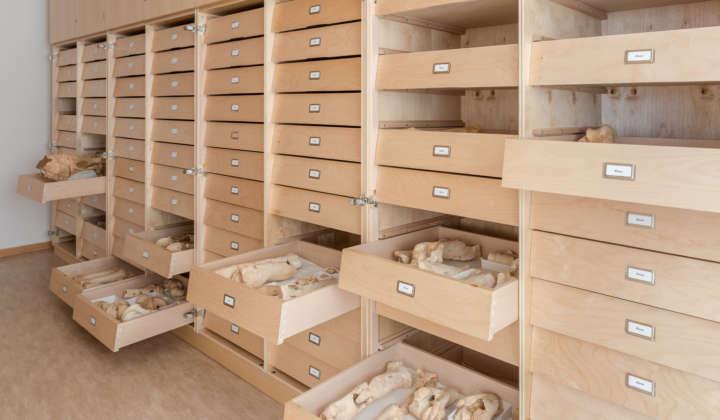 Blick auf offene Sammlungsschränke mit Großsäugerpräparaten der Sammlung der Abteilung Quartärpaläontologie Weimar