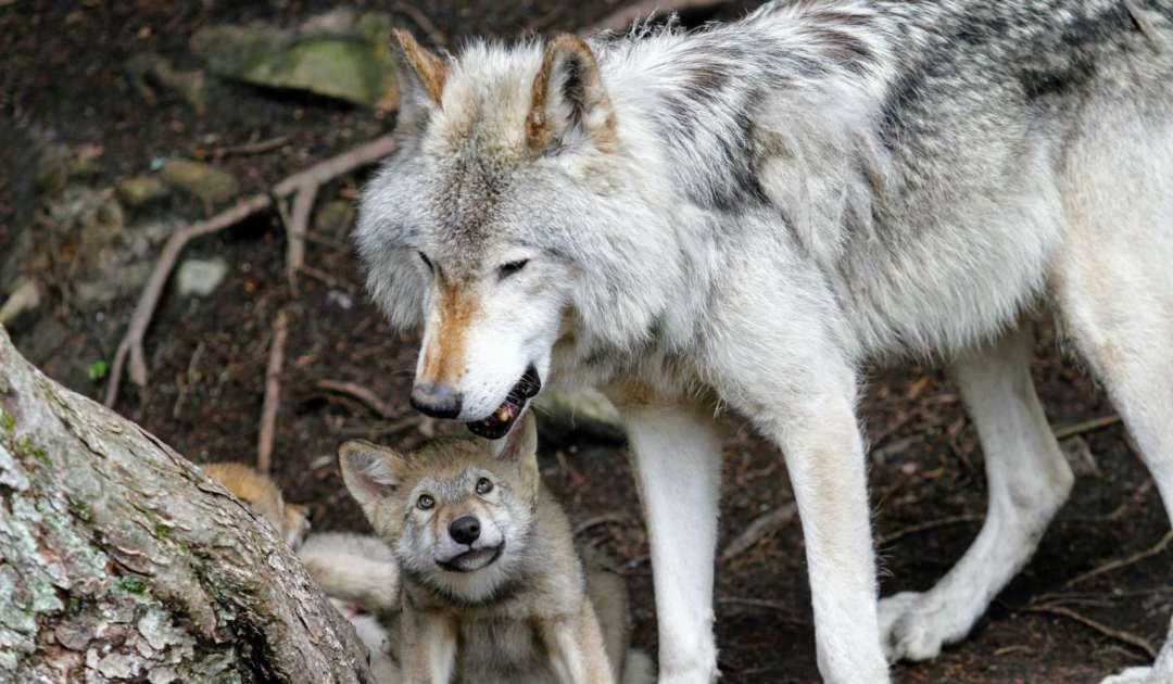 Stockfoto Wolf