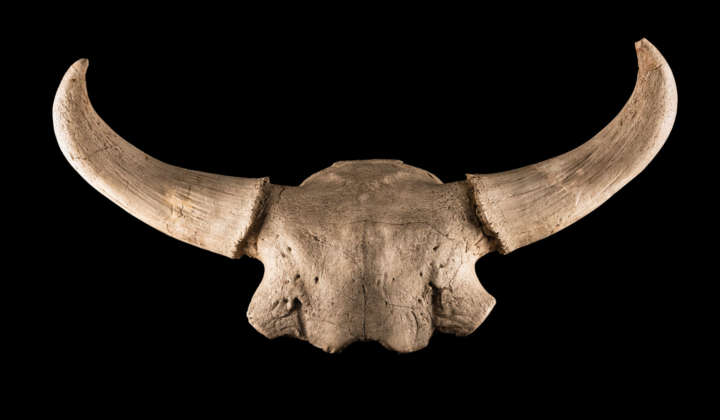 Bisonschädel mit Hörnern aus der Sammlung der Abteilung Quartärpaläontologie Weimar