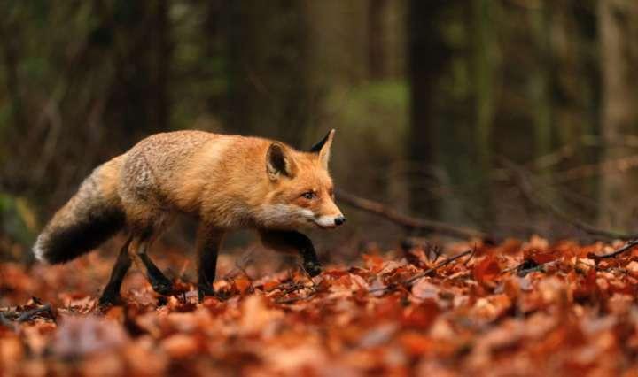 Unsplash Stockfoto Fuchs