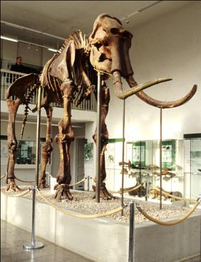 Skelett eines Steppenelefants im Spengler-Museum in Sangerhausen