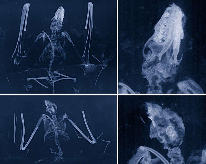 Fledermaus Radiologie