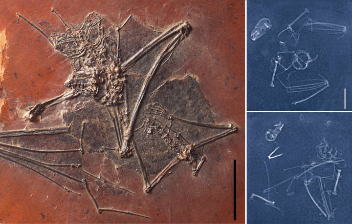Zerfall Fledermaus Radiologie