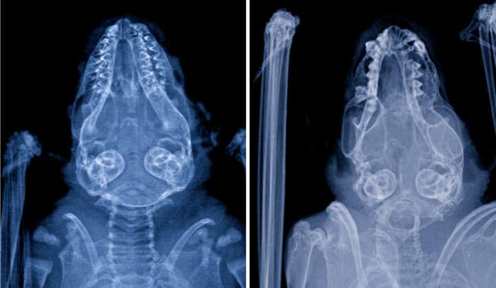 Fledermausschädel Radiologie