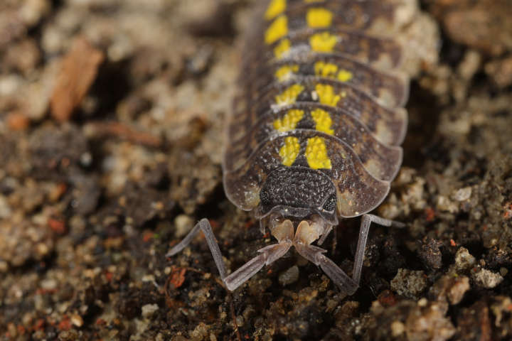Bodenzoologie Edaphobase Isopoda 2