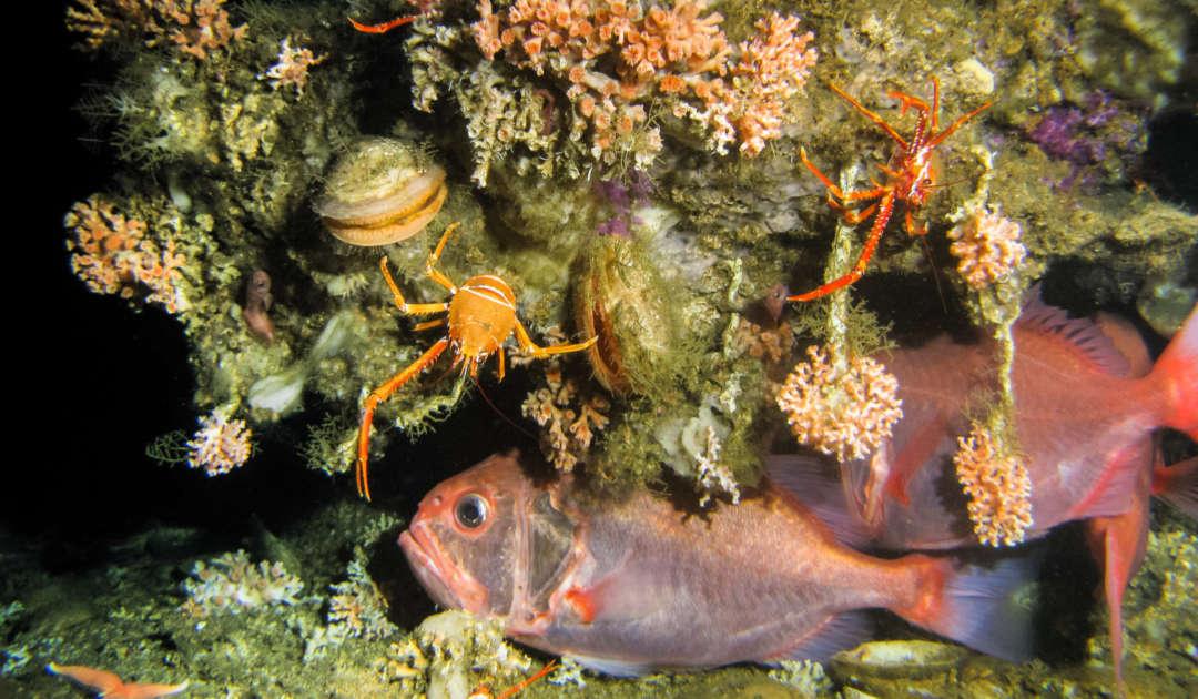 Kaltwasserkorallenriff vor Mauretanien
