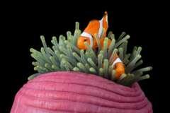 Falscher Clownfisch Amphiprion ocellaris in Prachtanemone Heteractis magnifica