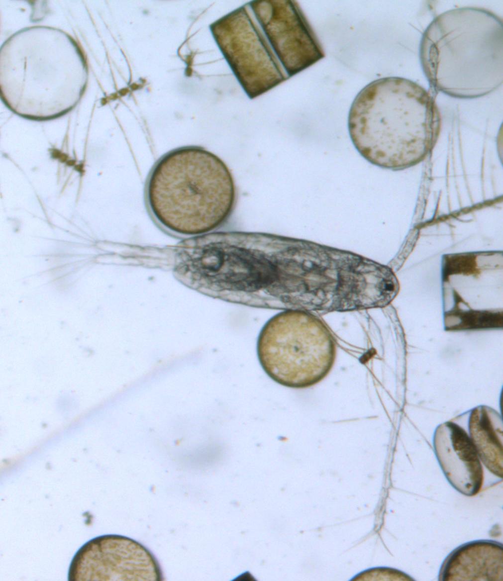 Calanoid copepod Acartia clausi (North Sea)