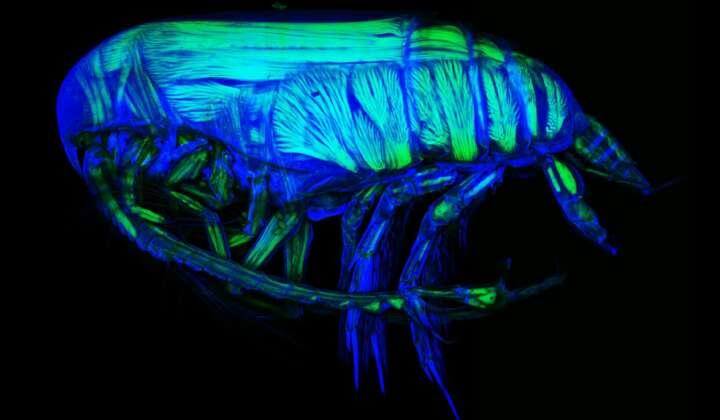 KLSM (Konfokale Laserscanmikroskopie) Foto eines Yrocalanus kurilensis Männchens aus dem Kamchatka Graben (Nord Pazifik)