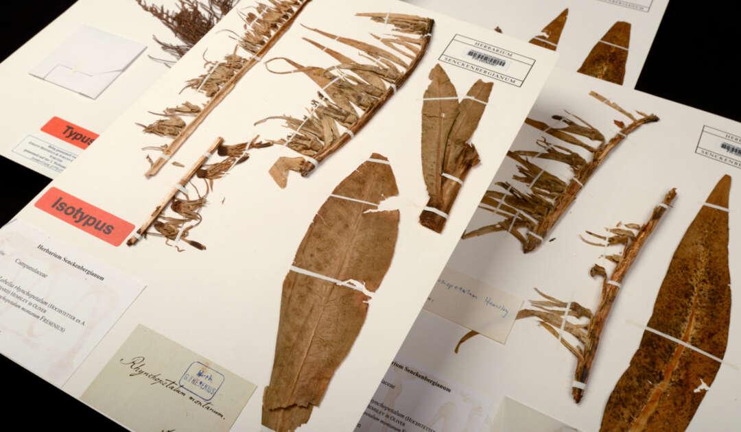 Rueppell Herbarium