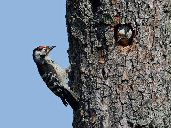 Lesser spotted woodpecker (Dryobates minor) in its natural habitat in Denmark
