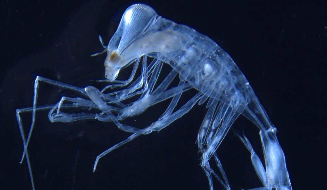 Planktonischer Amphipode Phronimella sp. aus dem Südatlantik